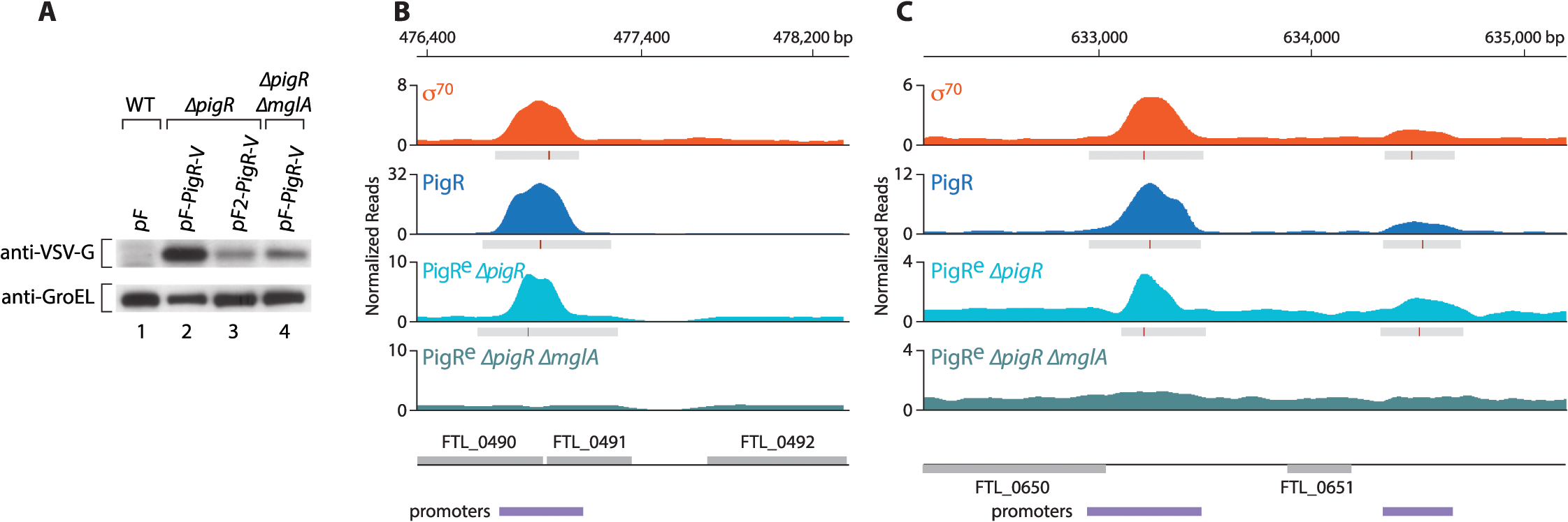 PigR requires MglA to specifically associate with promoter regions.
