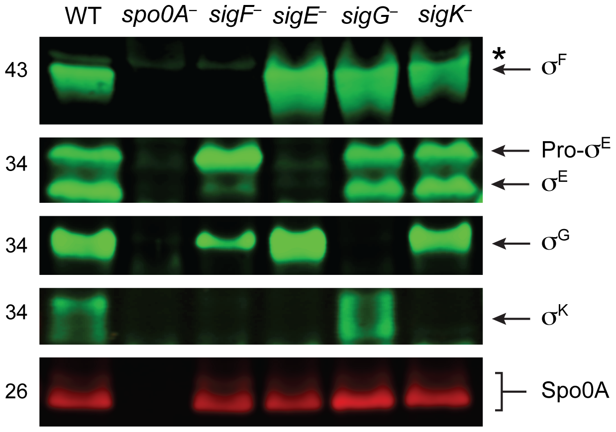 Analysis of sporulation sigma factor production in sporulation sigma factor mutants.