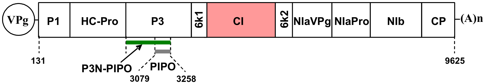 Schematic representation of the TuMV genome.