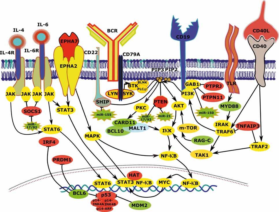 Vzájemné interakce a deregulace komponent signálních drah vedoucích k aktivaci BCR signalizace, NF-κB a PI3K u FL. FL – folikulární lymfom, BCR – B buněčný receptor, zeleně – zvýšená exprese/aktivita vlivem aberací postihujících daný gen, červeně – snížená exprese/aktivita vlivem aberací postihujících daný gen, žlutě – zvýšená exprese/aktivita vlivem aberací postihujících jiné geny, šedě – snížená exprese/aktivita vlivem aberací postihujících jiné geny