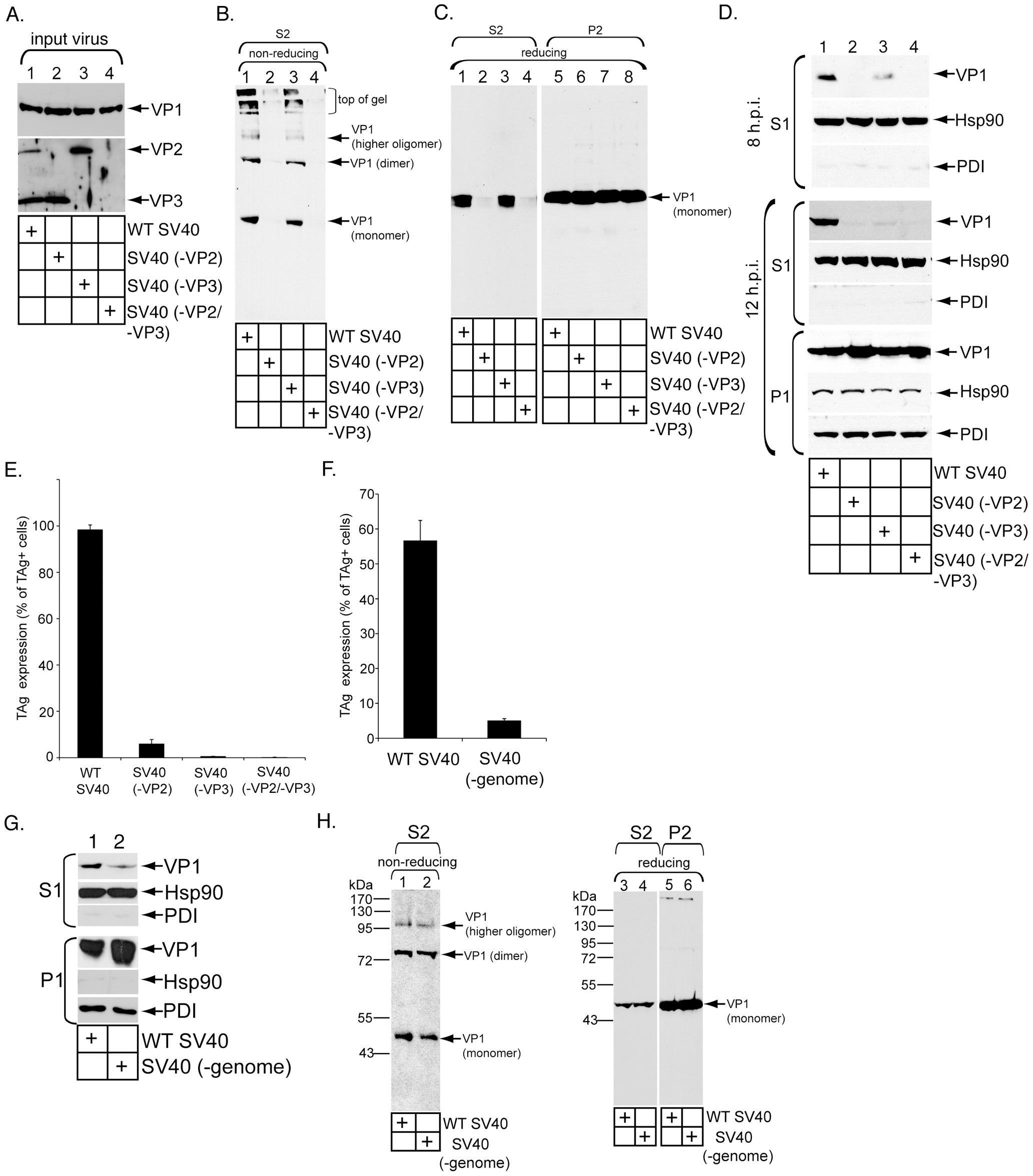 Role of VP3 and viral genome in SV40 ER-to-cytosol membrane transport.