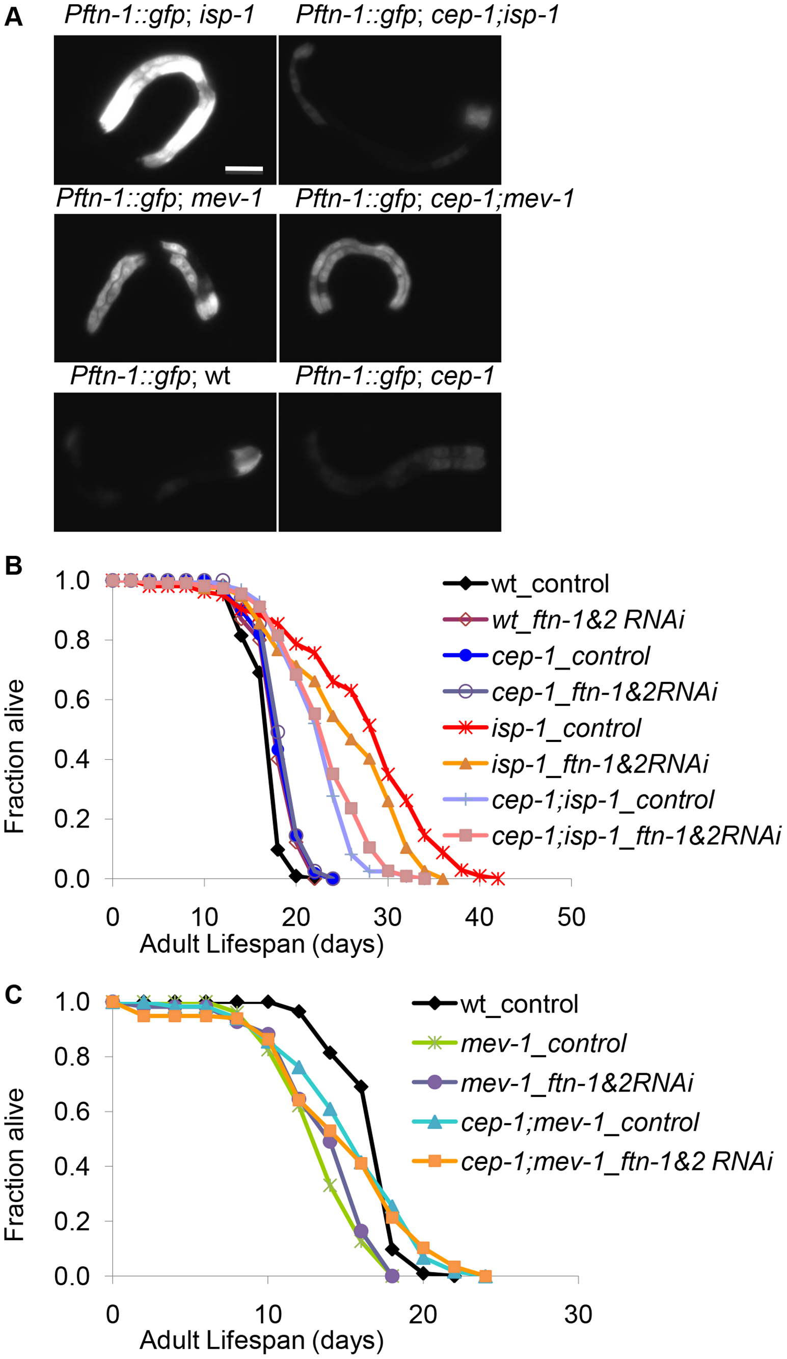 CEP-1-regulated ferritin induction partially mediates the extended lifespan of <i>isp-1</i> mutants.