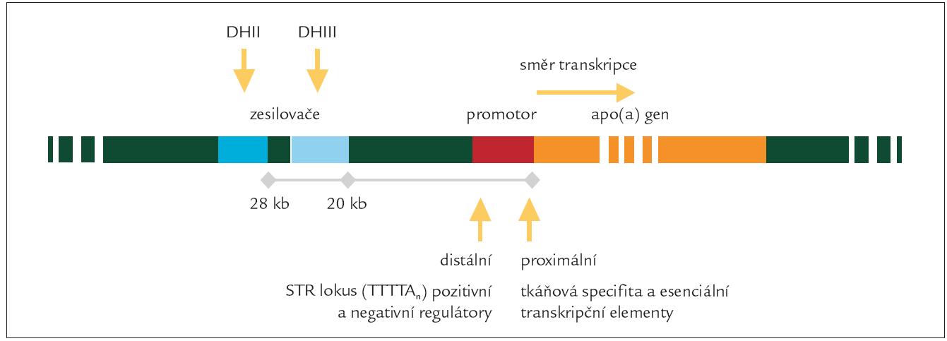 Umístění genu apo(a) a jeho regulačních oblastí na 6. chromozomu.