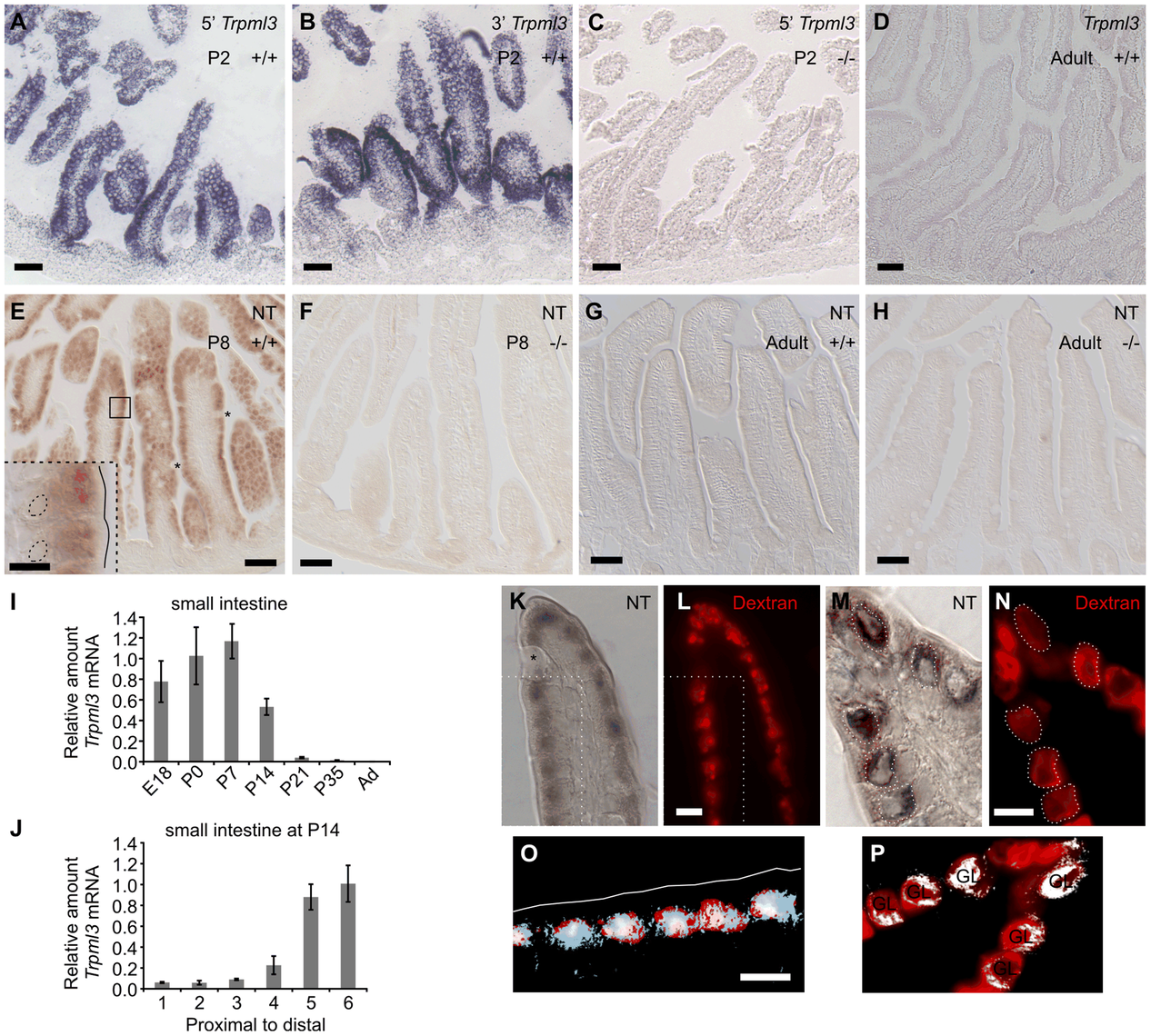 Intestinal enterocytes express <i>Trpml3</i> specifically during the suckling period and accumulate TRPML3 protein in their specialized endolysosomal organelles.
