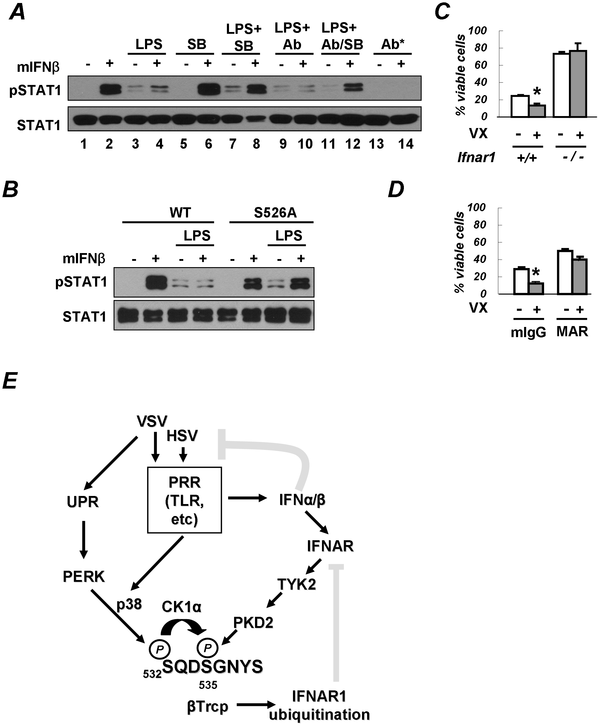 PRR signaling attenuates cellular responses to Type I IFN.