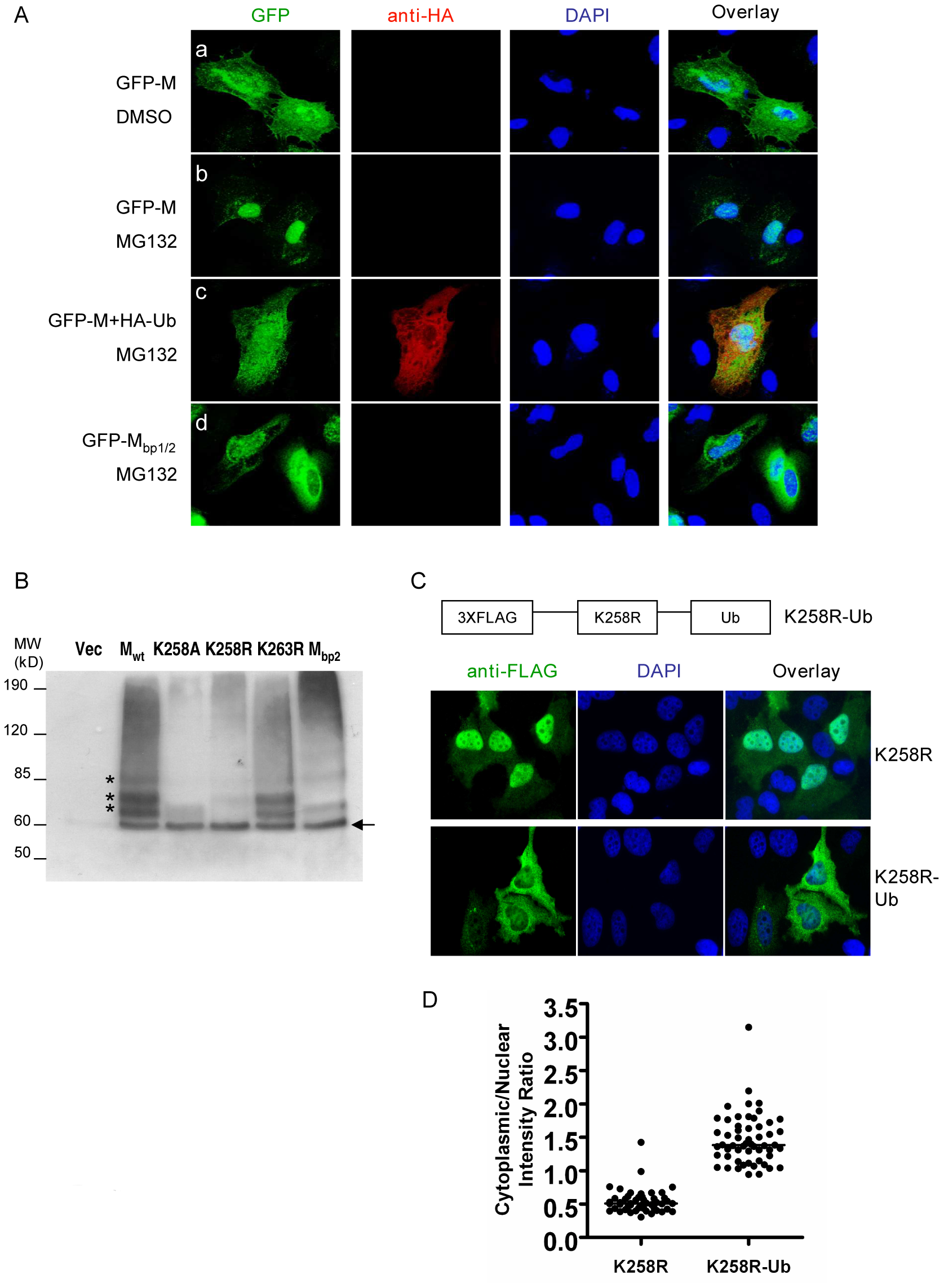 Ubiquitination regulates NiV-M nuclear export.