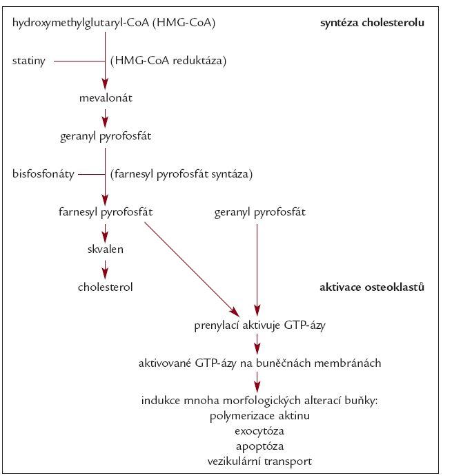 Schéma. Syntéza cholesterolu a aktivace osteoklastů využívají stejnou metabolickou cestu.