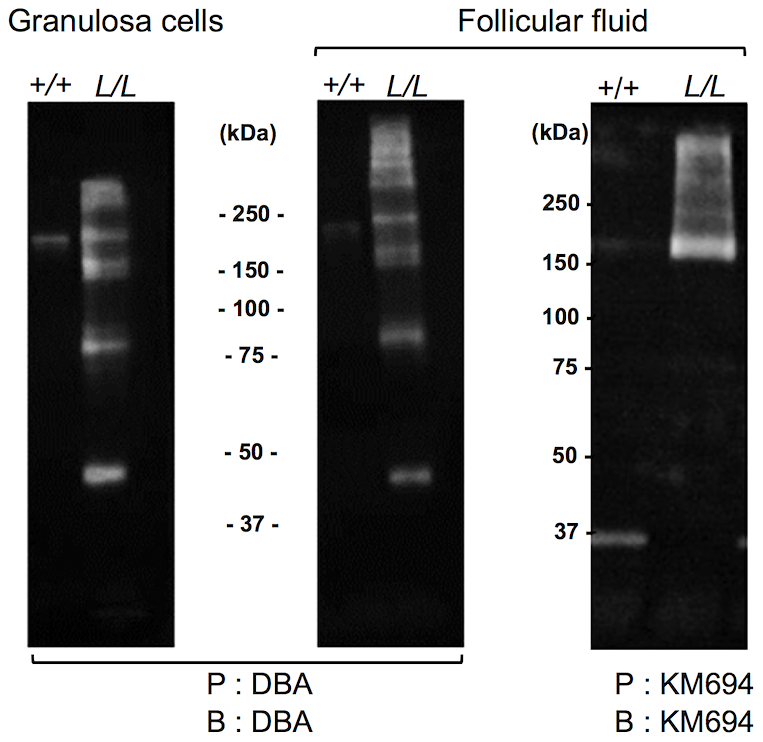 Western immunoblotting analysis of B4GALNT2 transferase activity in Lacaune sheep granulosa cells and follicular fluids.