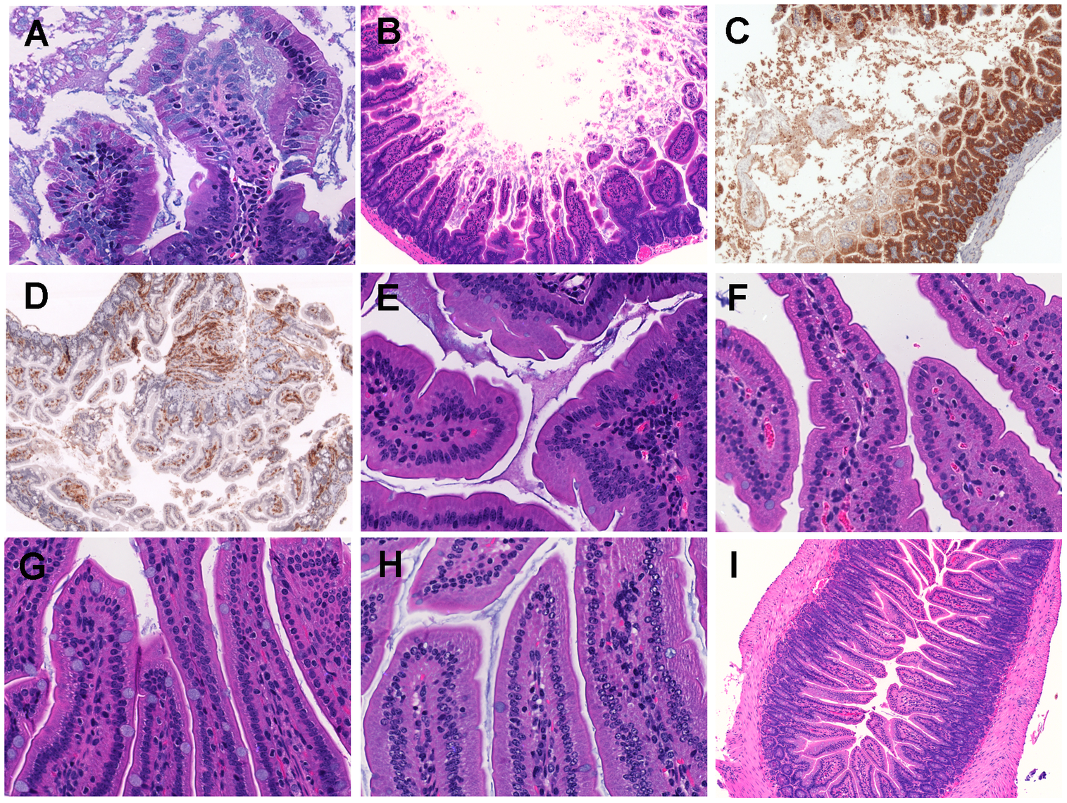 Histopathological examination of mice small intestine inoculated with <i>V. vulnificus</i> strains.