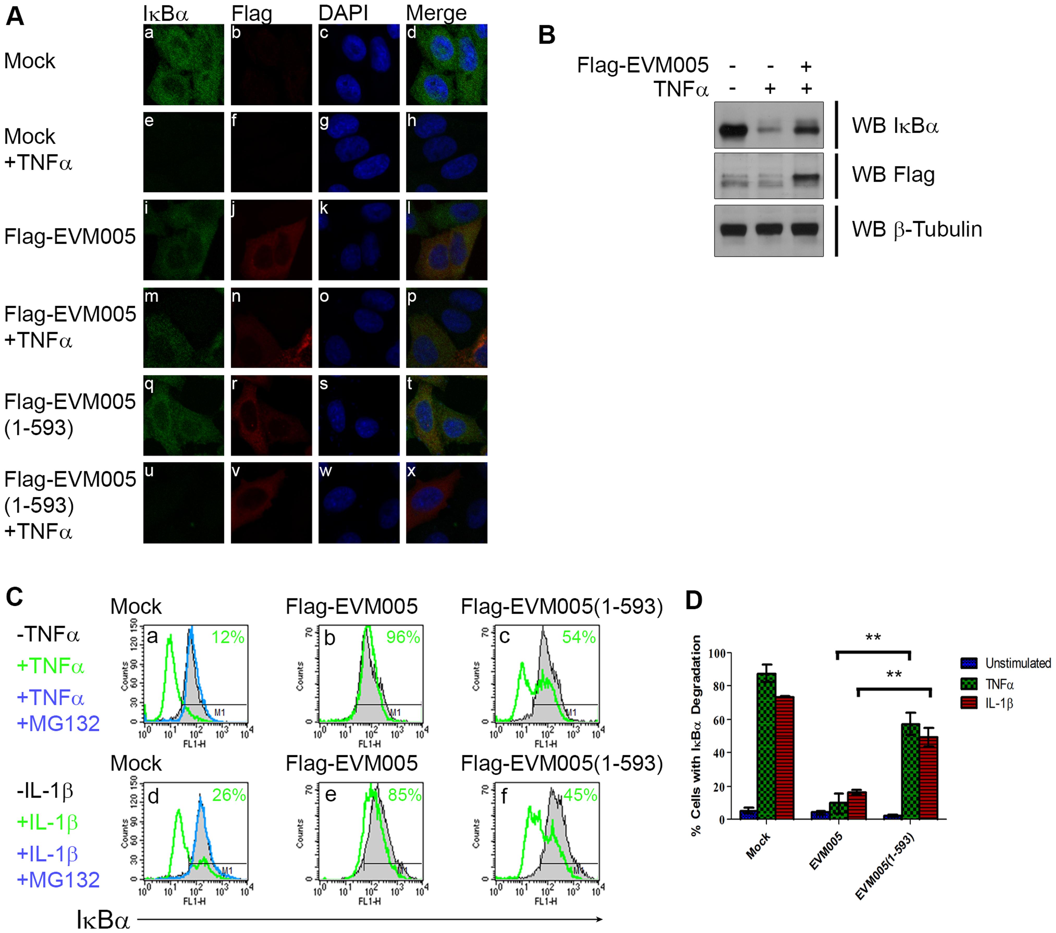 EVM005 inhibits IκBα degradation.