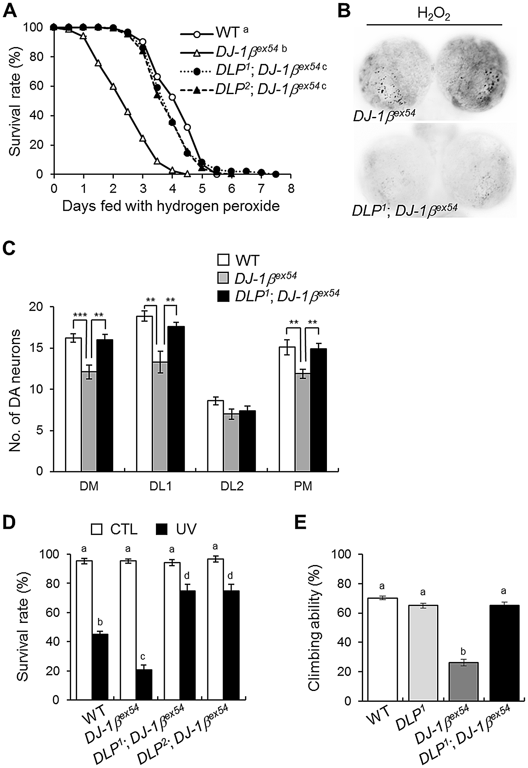 <i>DLP</i> deficiency reduces acute sensitivity to oxidative stress and UV, and improves locomotive dysfunction in <i>DJ-1β</i> mutant.
