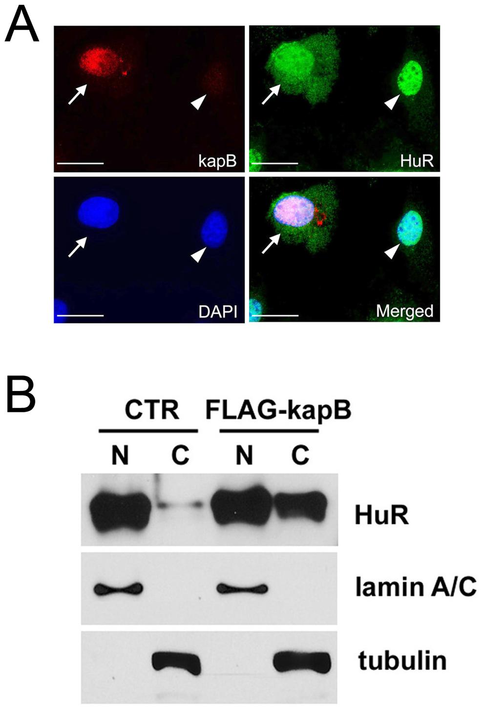 Cytoplasmic accumulation of HuR protein by kaposin-B.