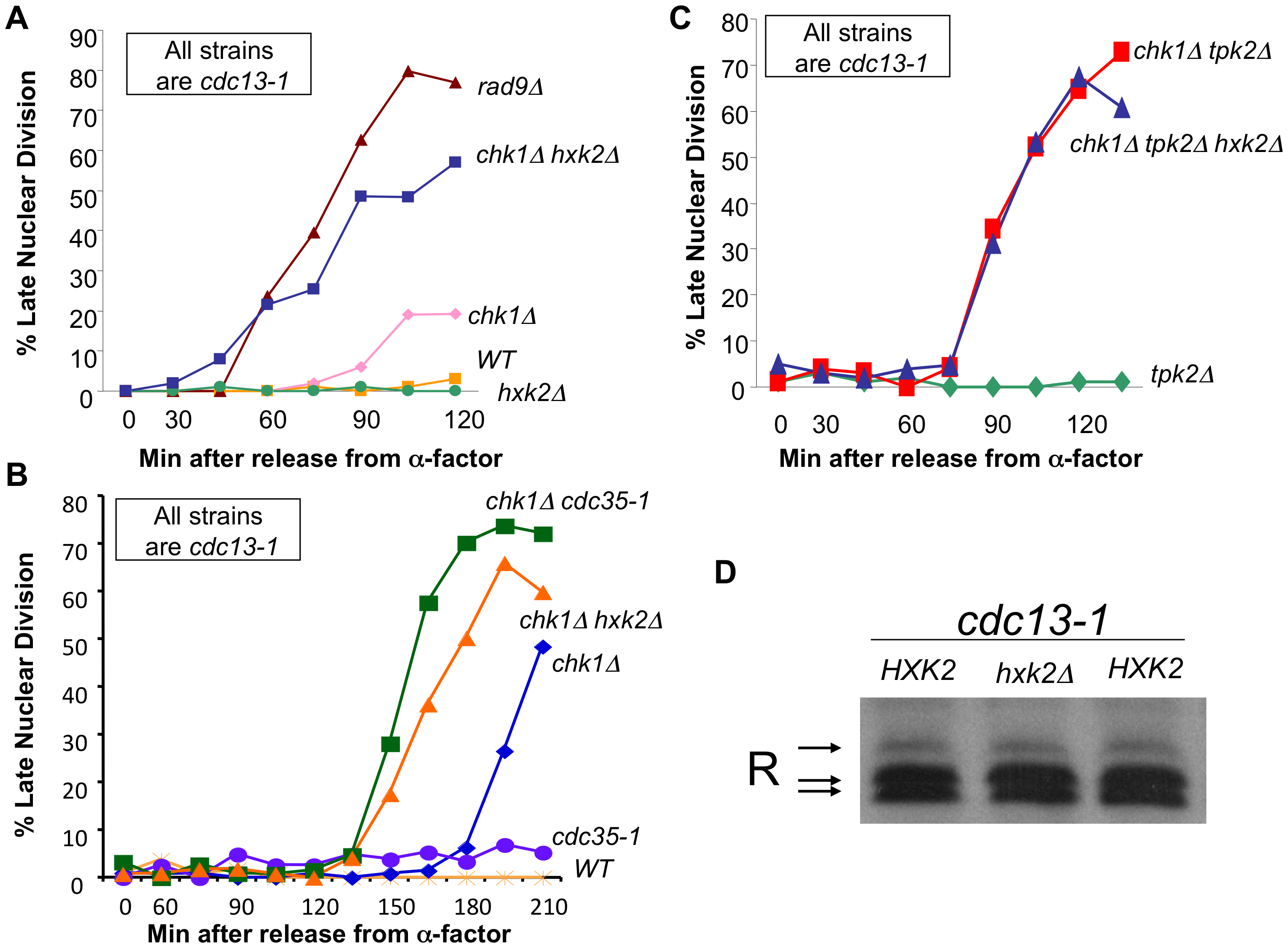 cAMP and Hxk2 are required for the role of PKA in the DNA damage checkpoint.