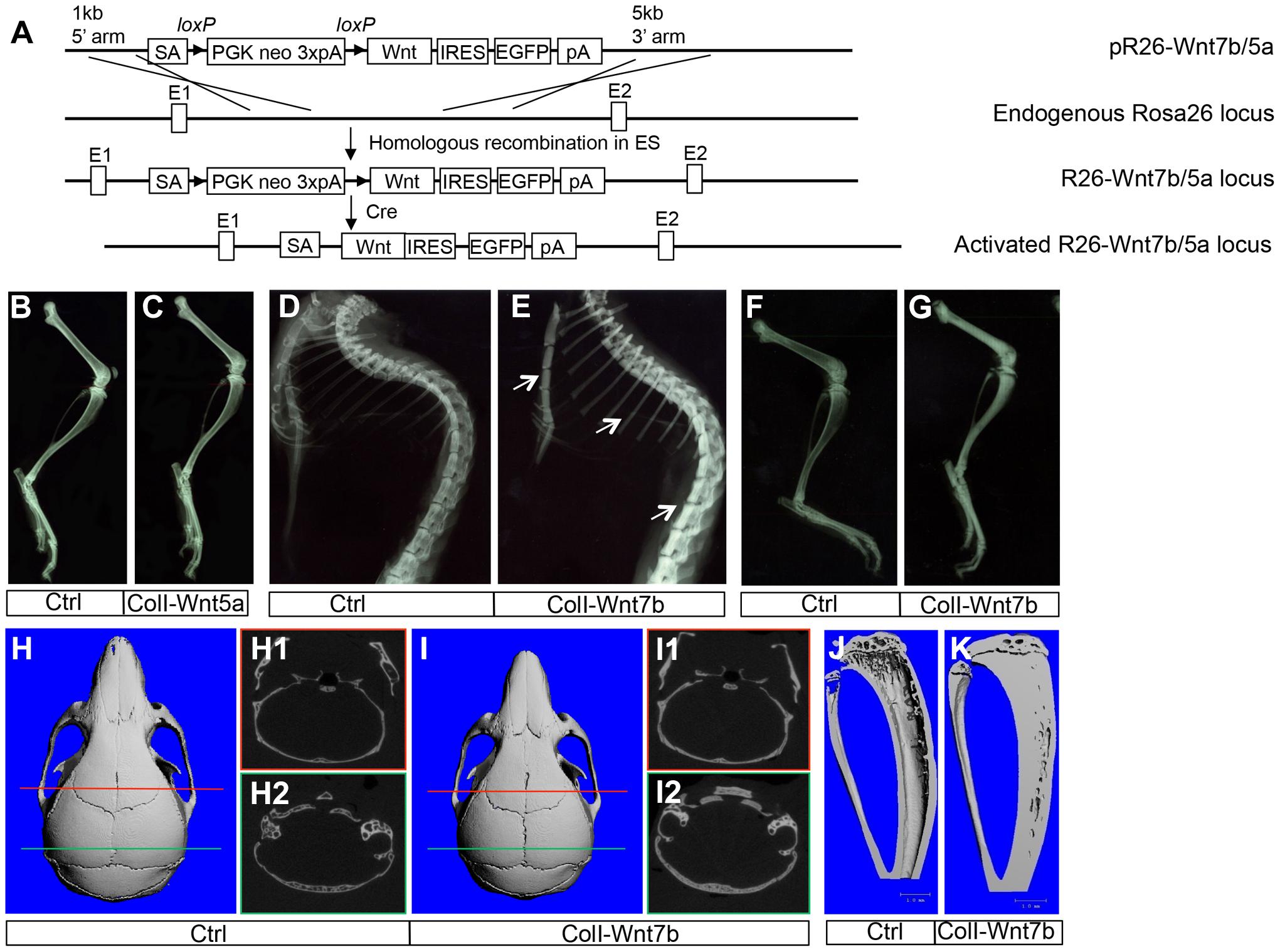 WNT7B, but not WNT5A, increases bone mass <i>in vivo</i>.