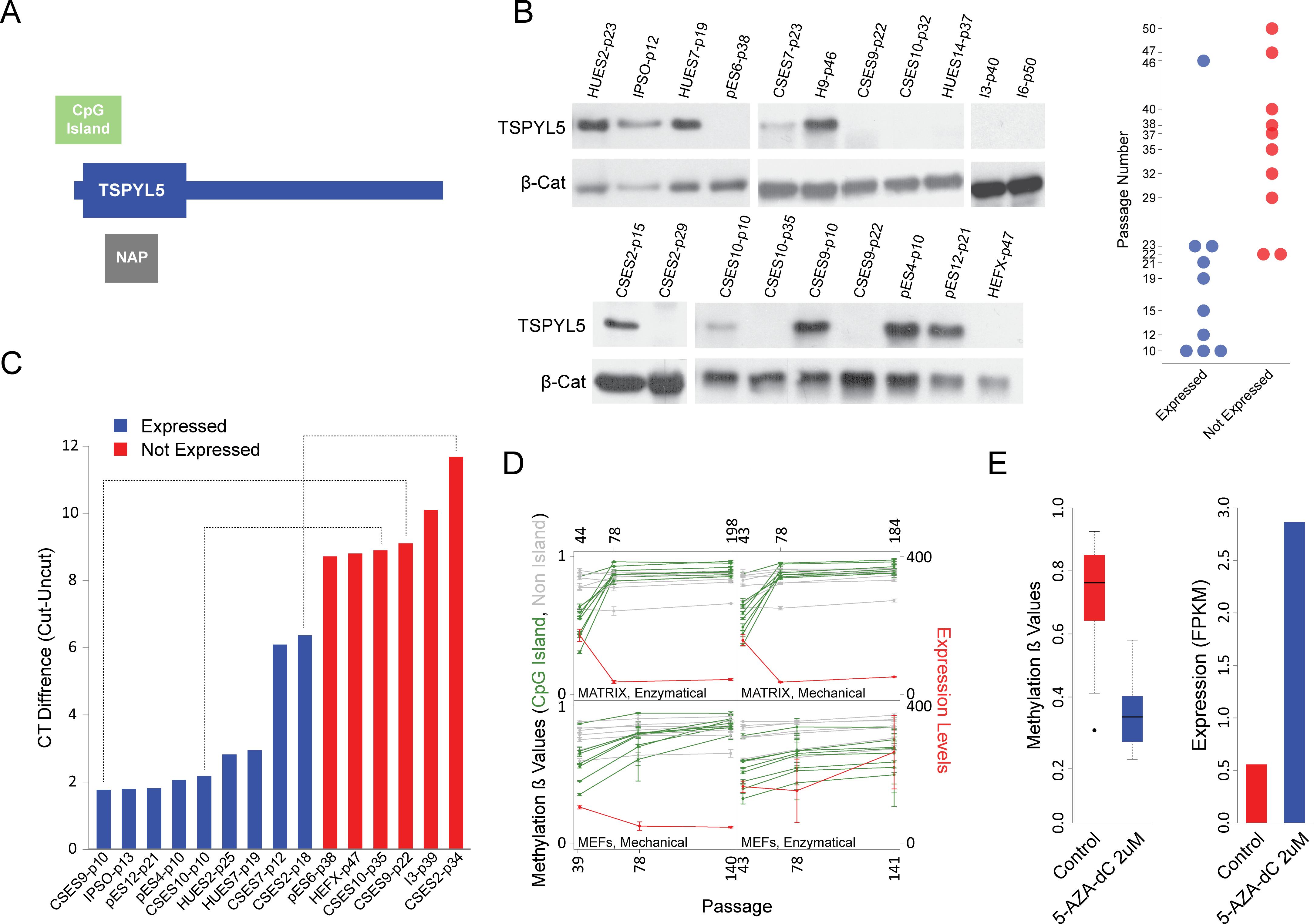 <i>TSPYL5</i> undergoes hyper methylation and silencing in culture.