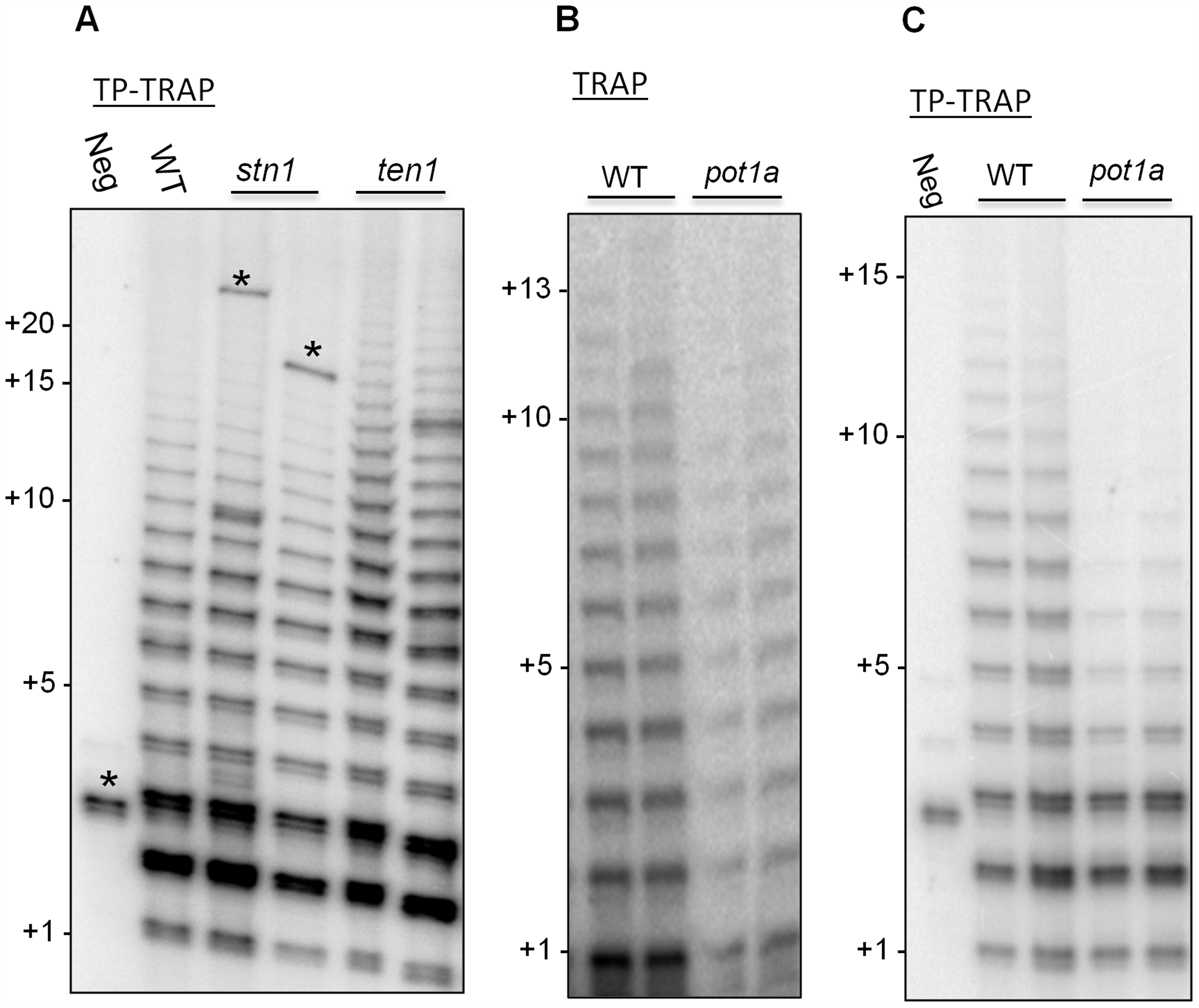 POT1a promotes synthesis of long telomere repeat arrays.