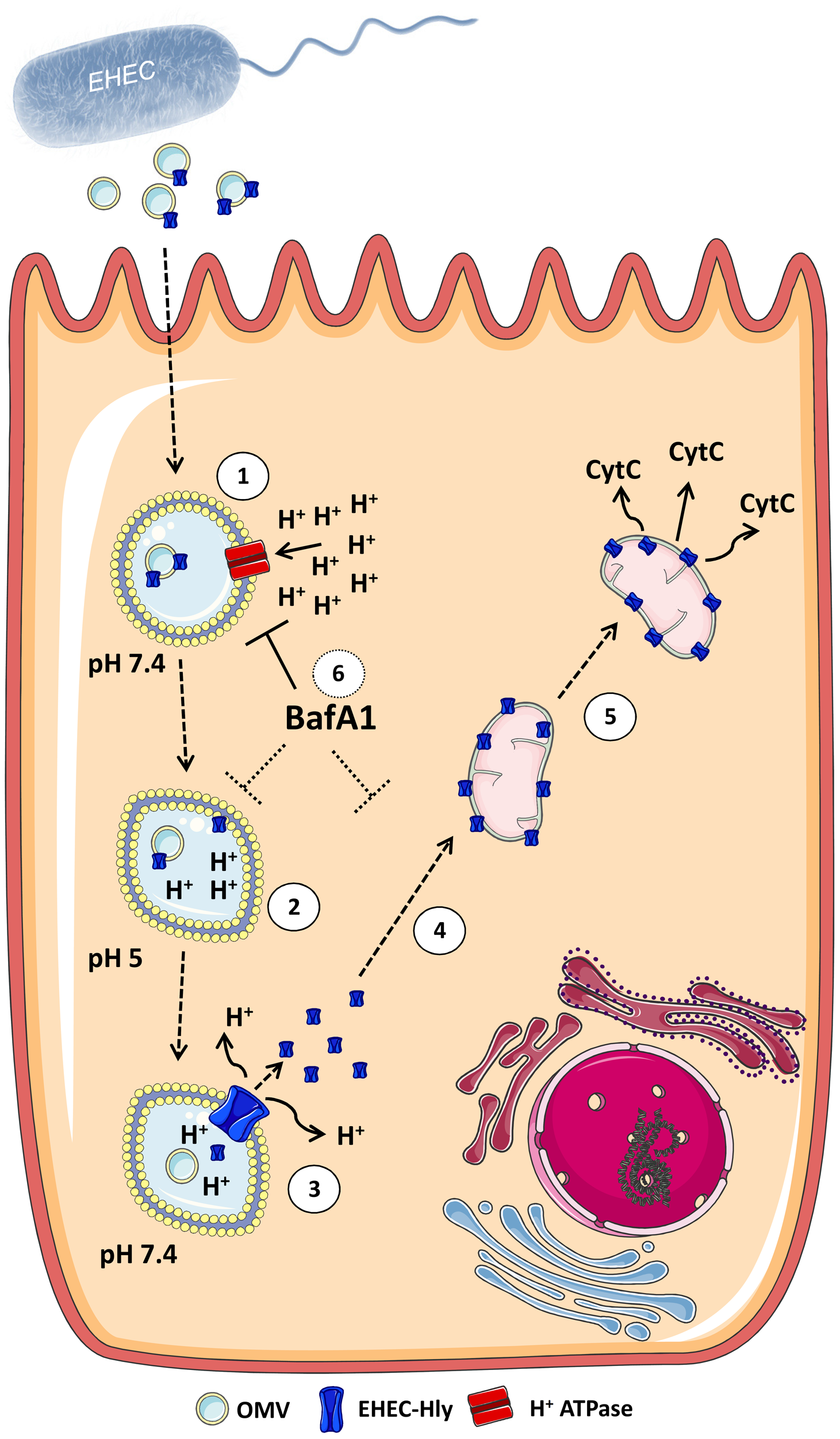 Model of intracellular trafficking and action of OMV-associated EHEC-Hly.