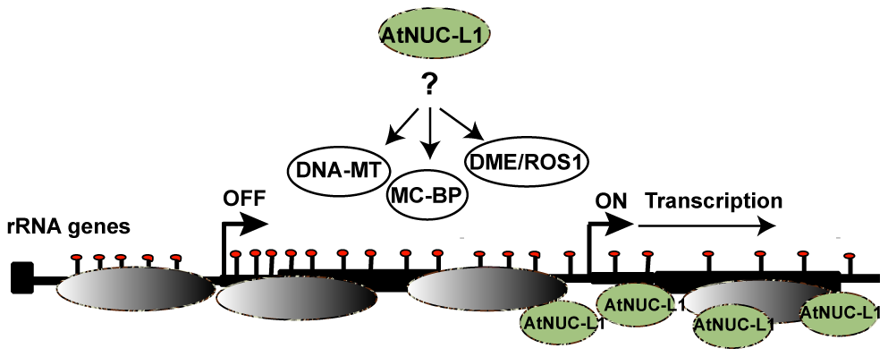 """AtNUC-L1 controls symmetrical DNA methylation and nucleosome positioning to determine the """"on"""" or """"off"""" state of transcriptionally active rRNA genes."""