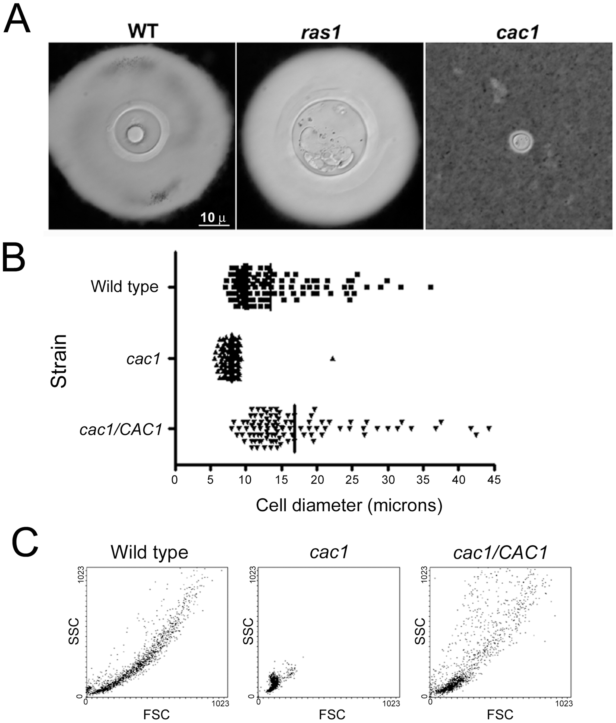 Giant cell formation depends on cAMP, but not Ras1.
