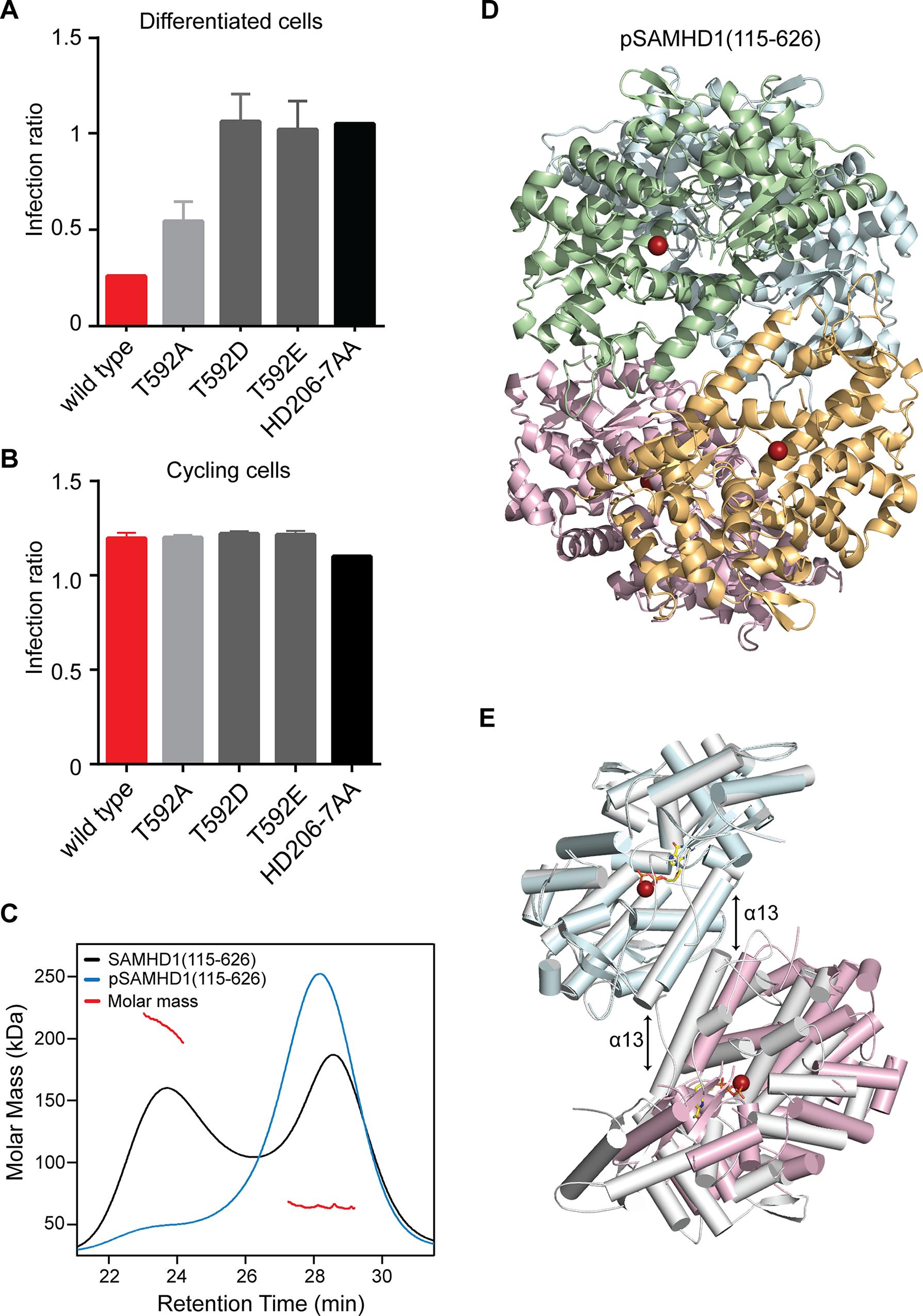 The effect of phosphorylation on SAMHD1 restriction and tetramerisation.