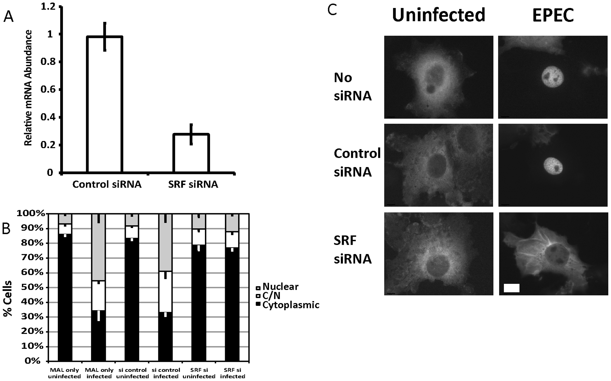 SRF is important for EPEC induced MAL-GFP translocation.
