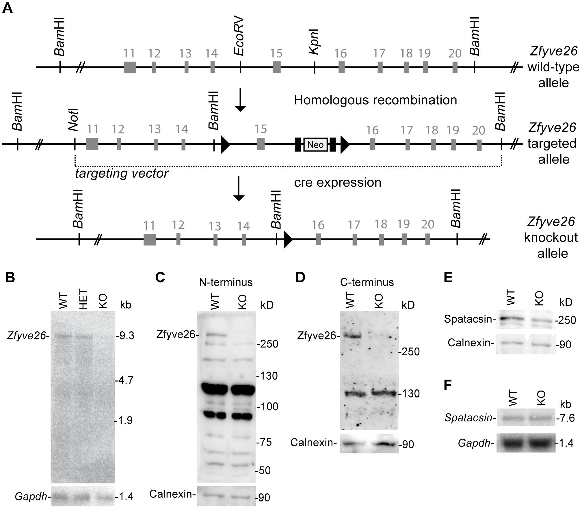 Targeted disruption of the murine <i>Zfyve26</i> gene.