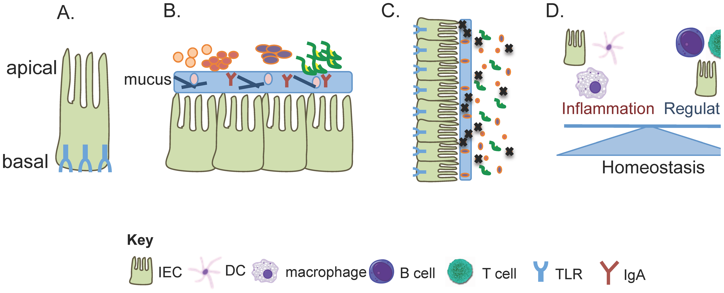 TLR signaling controls multiple pathways for tolerating the commensal microbiota.