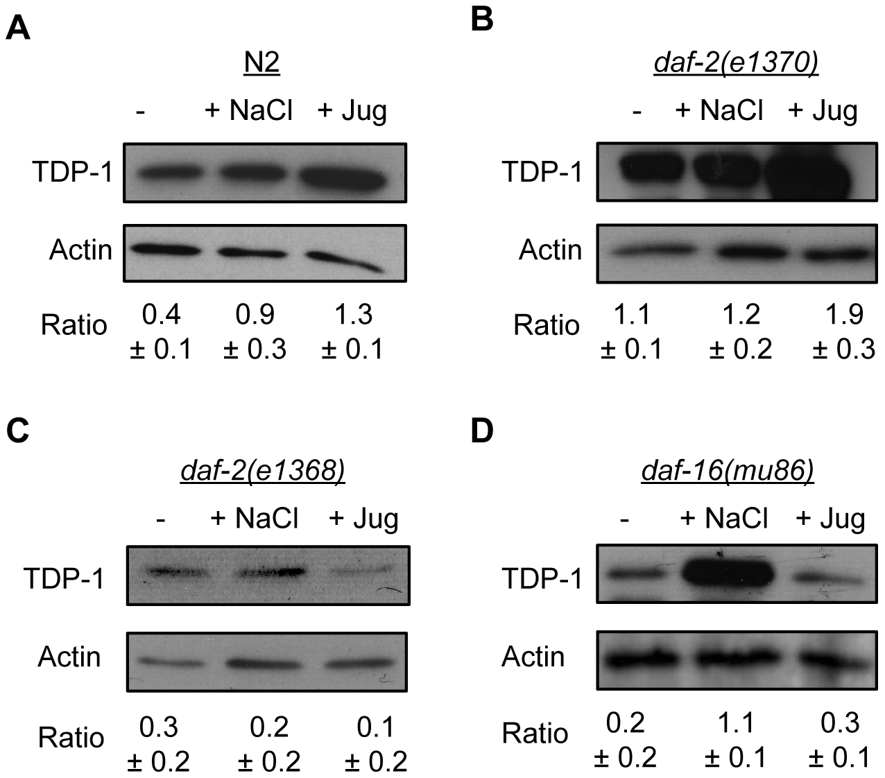 Endogenous TDP-1 protein levels influenced by stress and Insulin/IGF signaling.