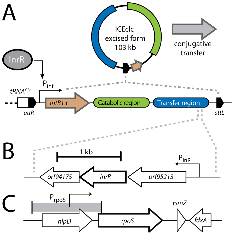 Schematic representation of the ICE<i>clc</i> genetic layout and relevant regulatory features.