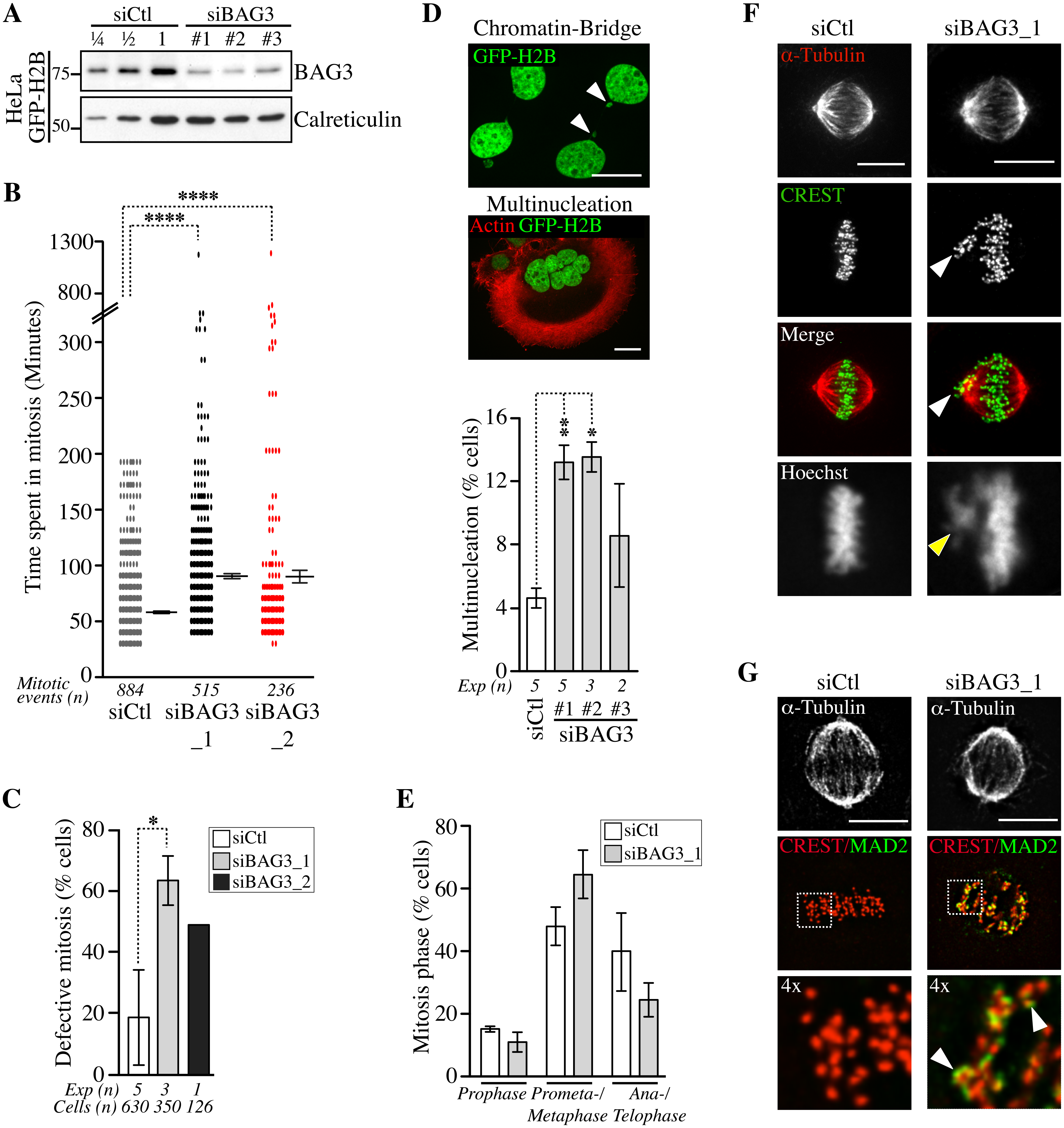 Depletion of BAG3 delays cells in mitosis and impairs chromosome segregation.