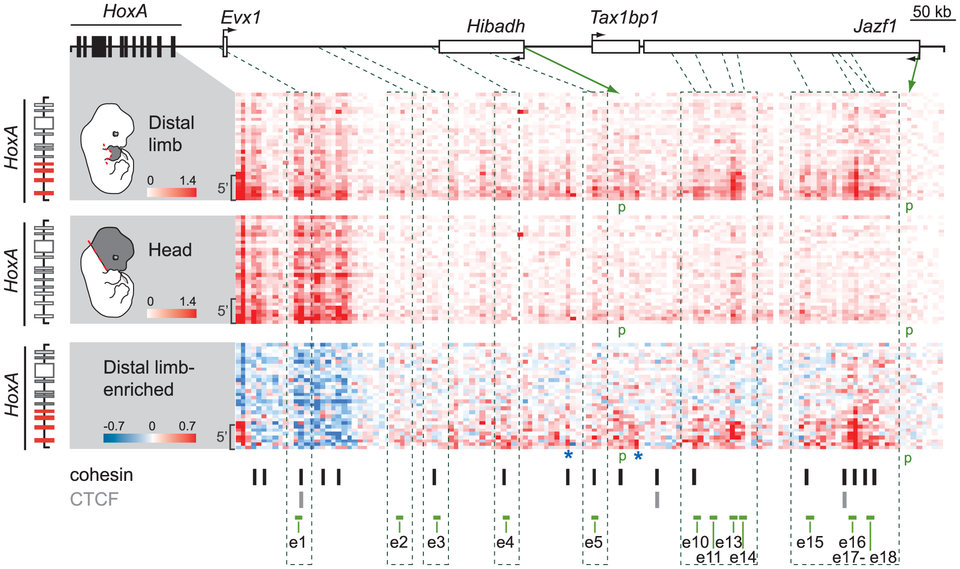 Several candidate enhancers interact specifically with 5′ <i>HoxA</i> genes in the limb.