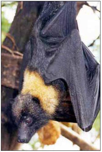 Mariana fruit bat (Pteropus mariannus). <sup>©</sup>foto US Fish and Wildlife Service at en.wikipedia