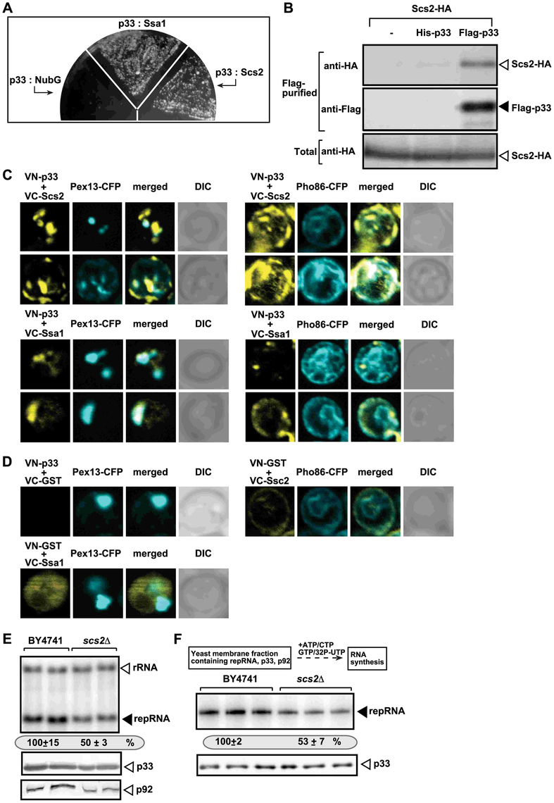 The tombusvirus p33 replication protein binds to the yeast Scs2p VAP protein in the ER.