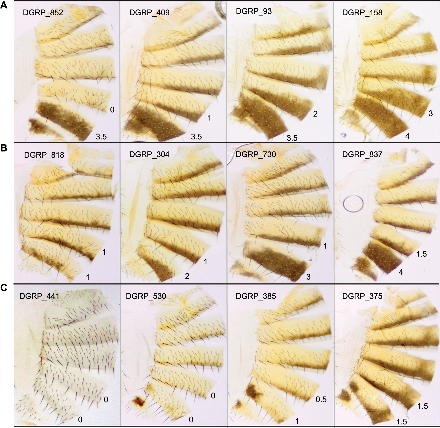 Natural variation in T5 and T6 pigmentation in the DGRP.