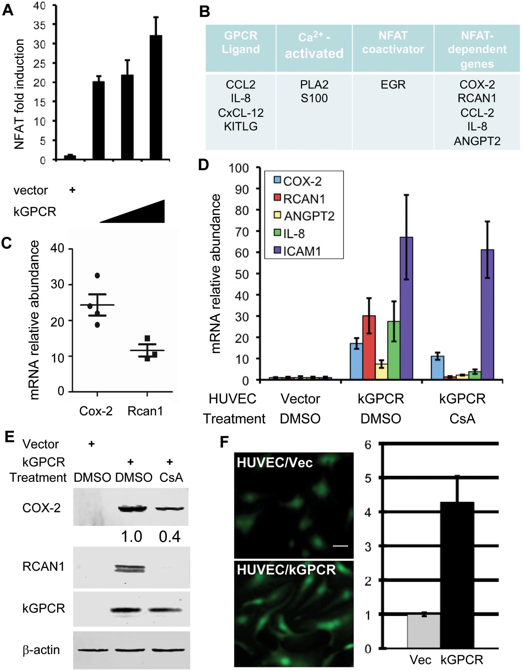 kGPCR activates the NFAT signaling cascade.