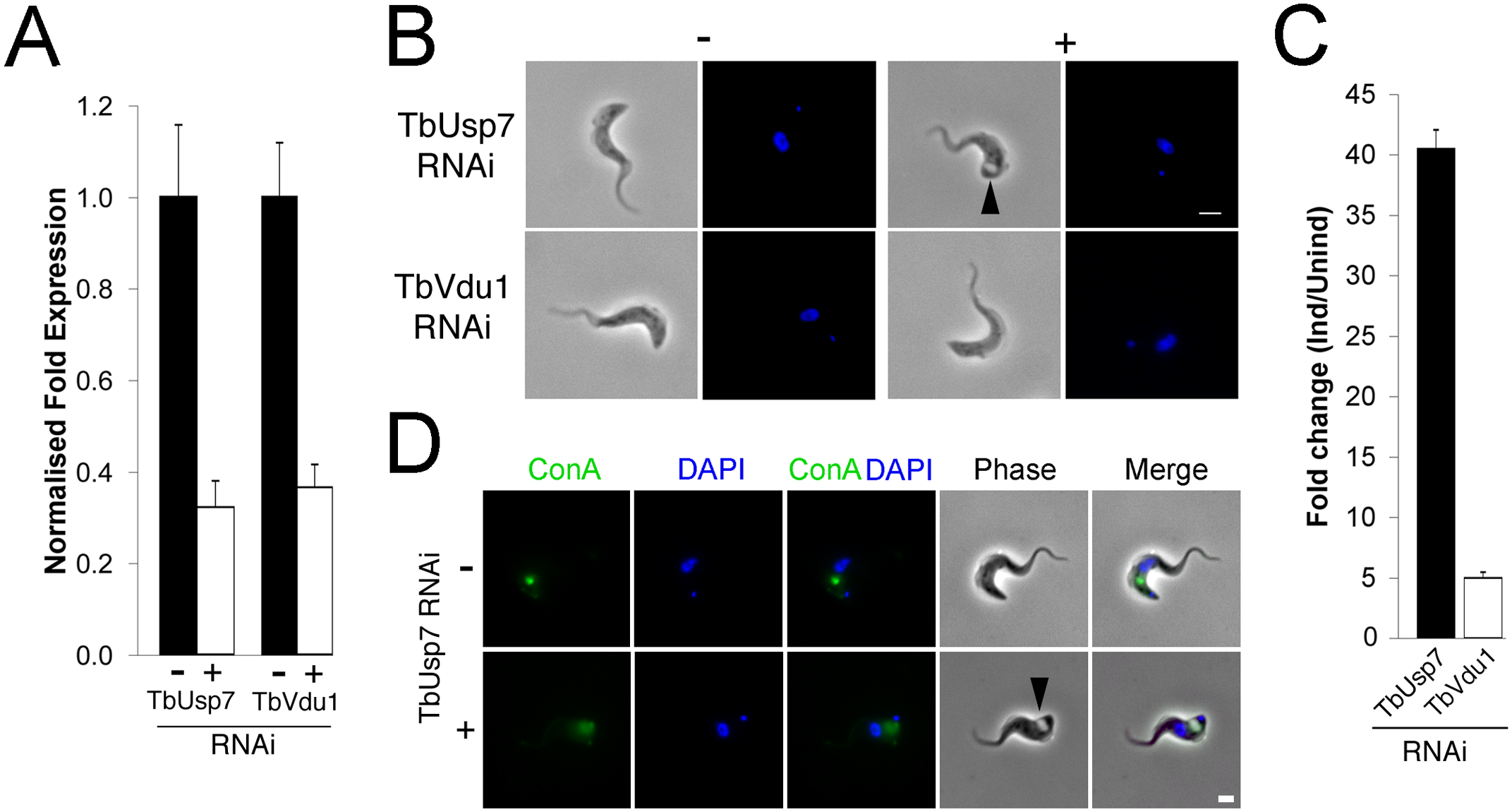 TbUsp7 but not TbVdu1 knockdown perturbs endocytosis.