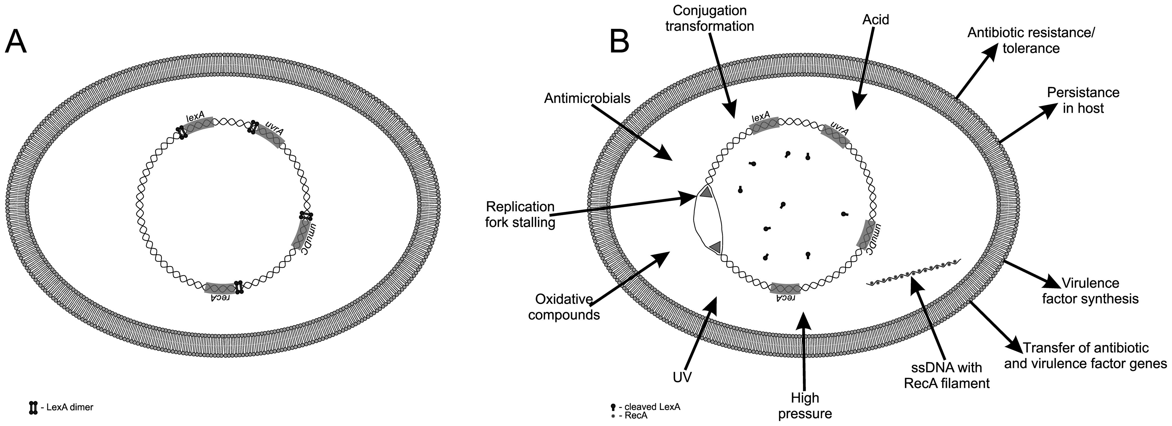The bacterial SOS response.