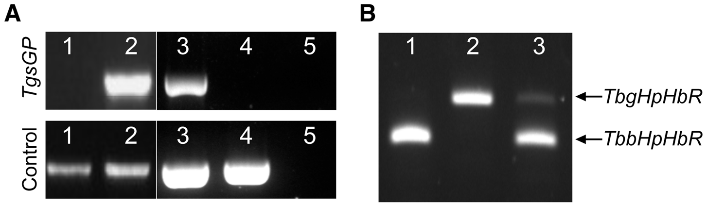 PCR amplification of <i>TgsGP</i> and RT-PCR of <i>HpHbR</i> in wild-type and transfected lines.