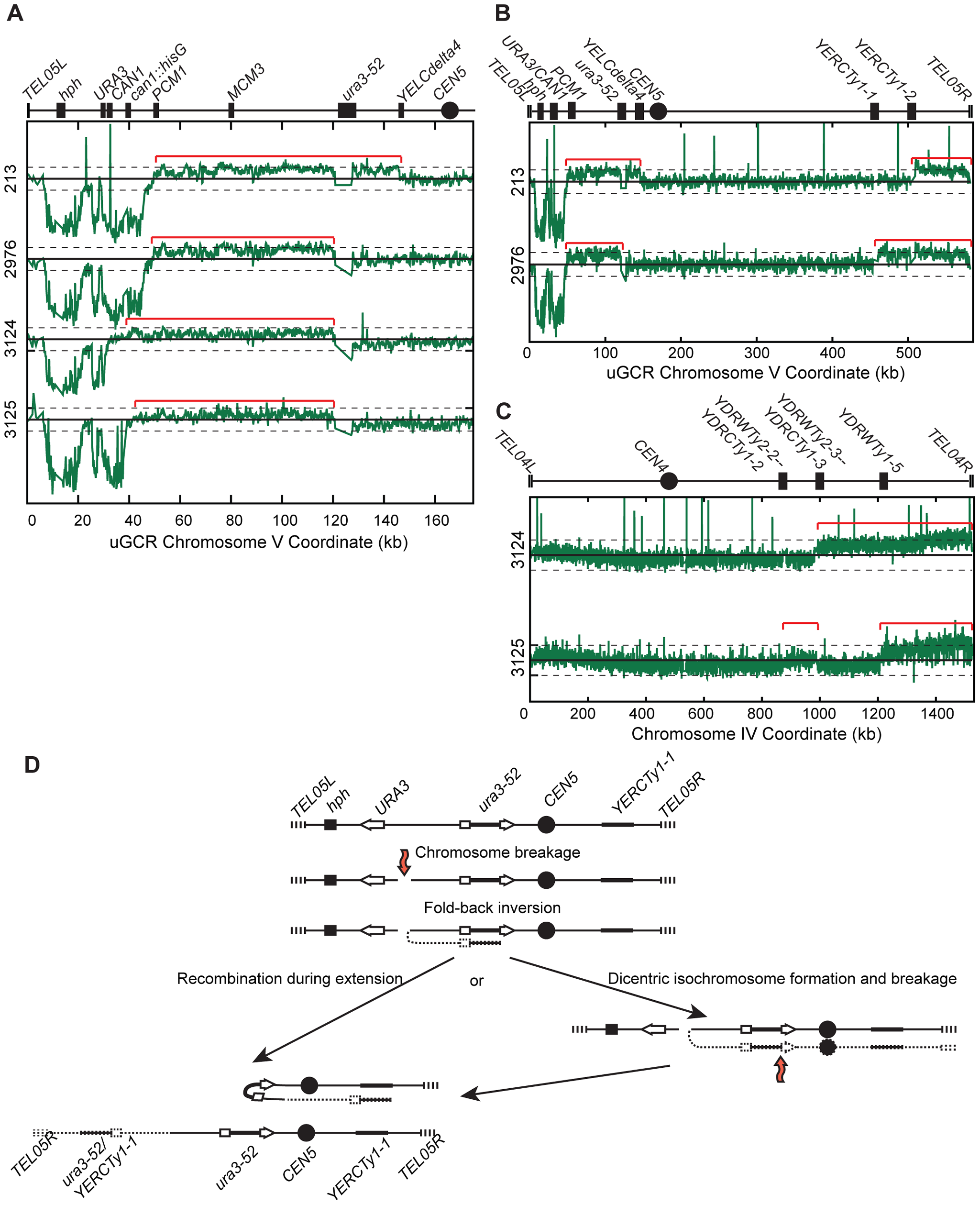 <i>hph</i>− GCRs associated with chrV larger than wild-type contain duplicated chrV sequences.
