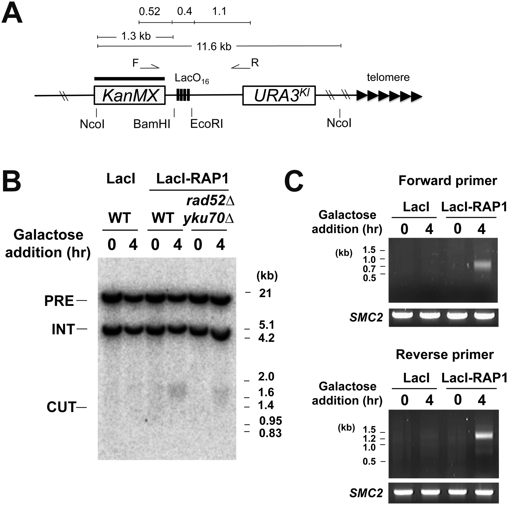 DSB induction at the LacO<sub>16</sub> repeat after LacI-Rap1 expression.