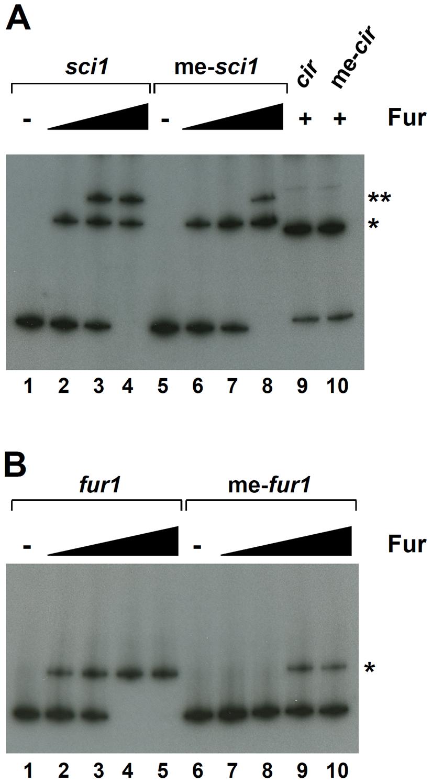 GATC methylation influences Fur binding on <i>fur1</i>.