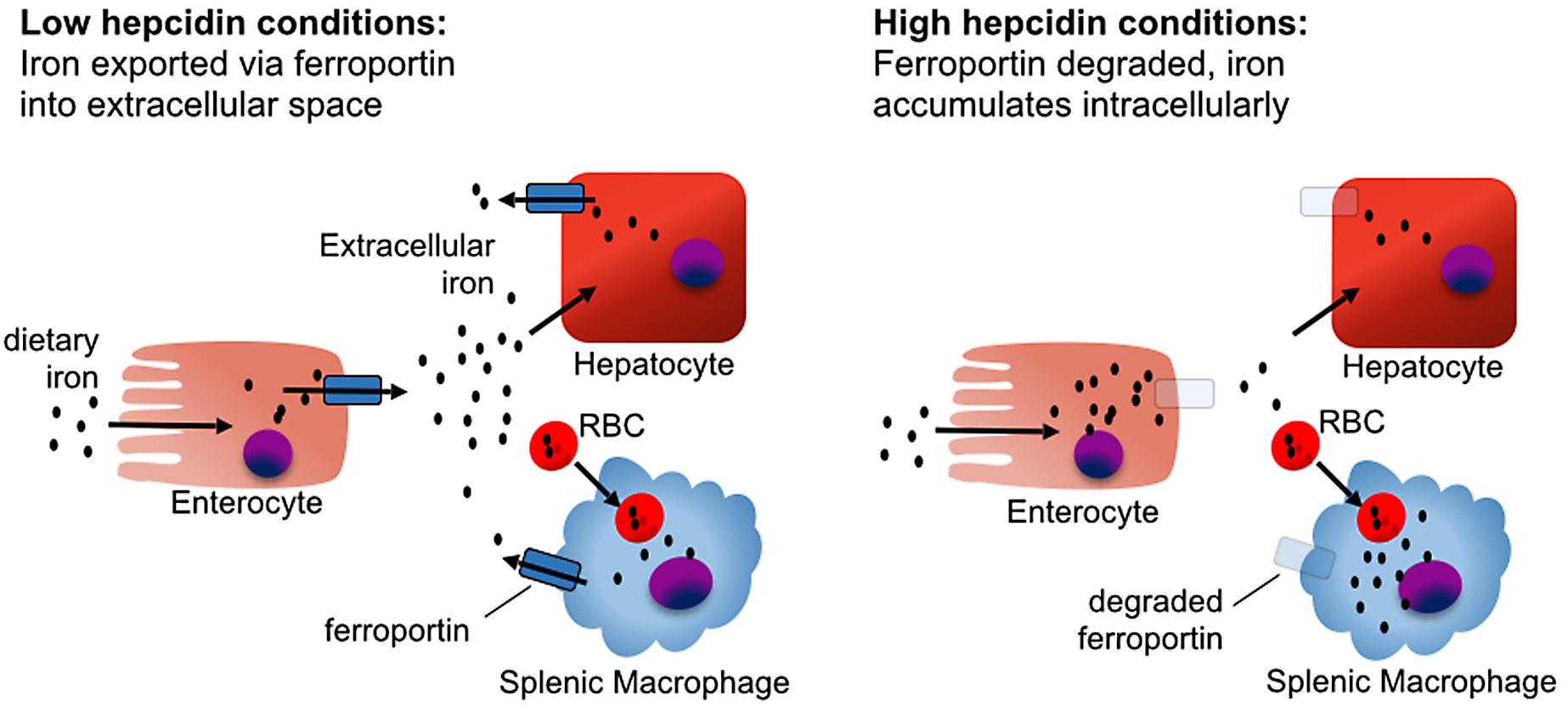 The effect of hepcidin on iron homeostasis.