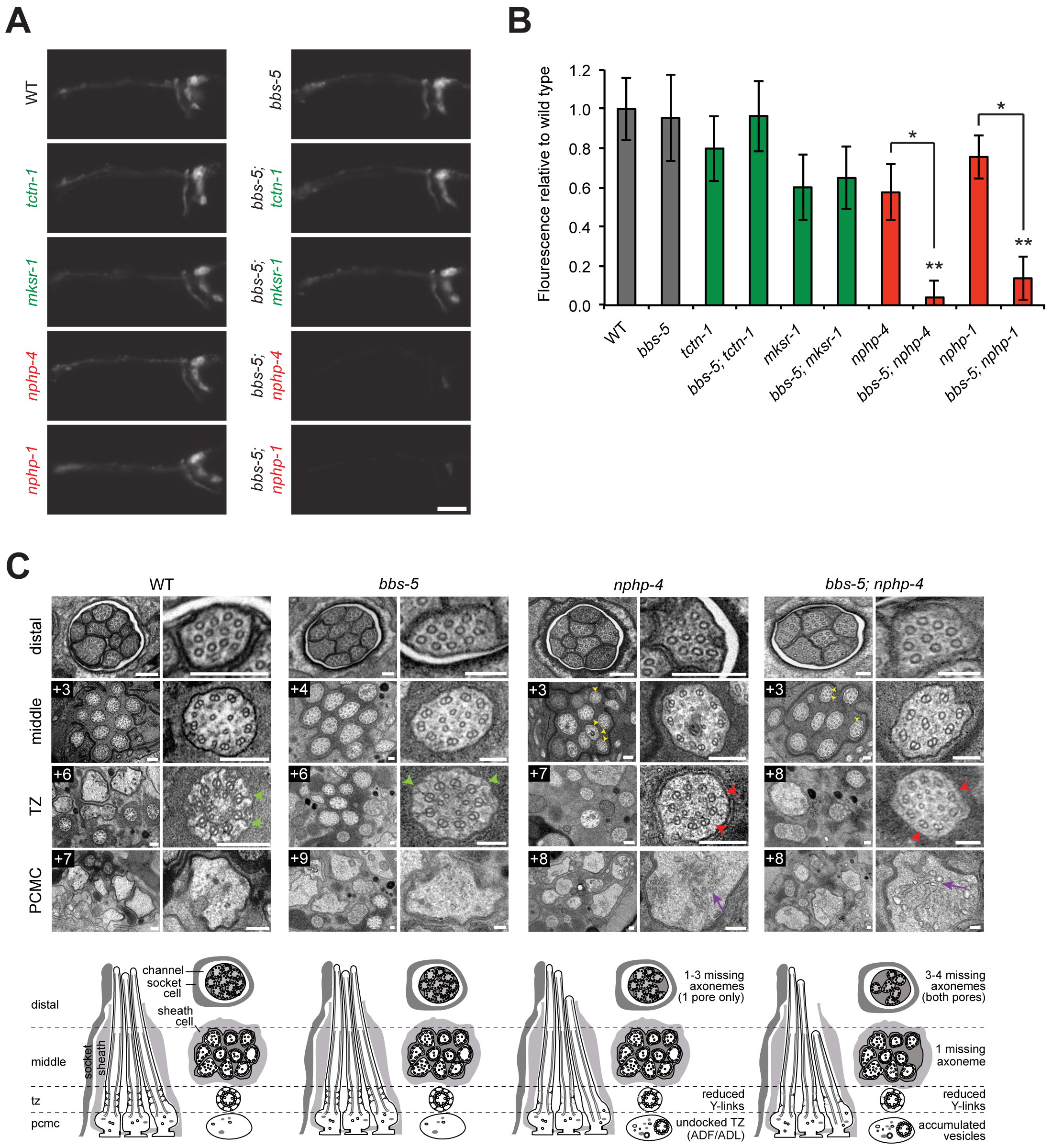 <i>C</i>. <i>elegans</i> NPHP genes synthetically interact with <i>bbs-5</i> to affect ciliary structure.