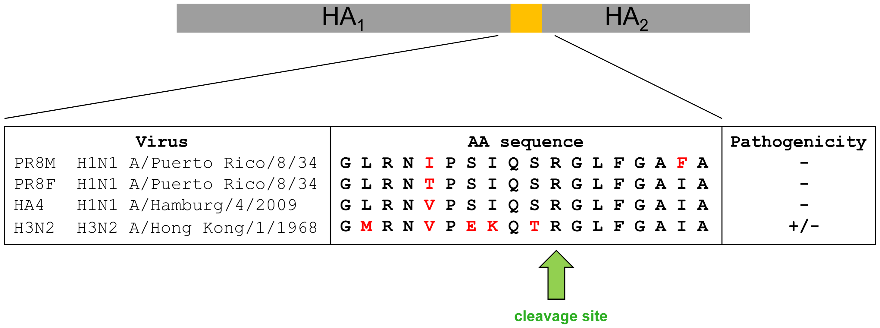 Alignment of amino acid sequences of the protease loop region from H1N1 and H3N2 influenza A viruses.