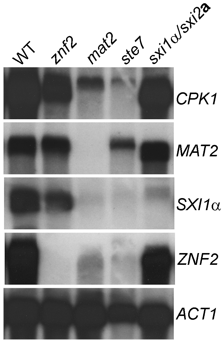Znf2 and the Sxi1α/2a complex do not regulate Mat2 or the Cpk1 pathway at the transcript level.