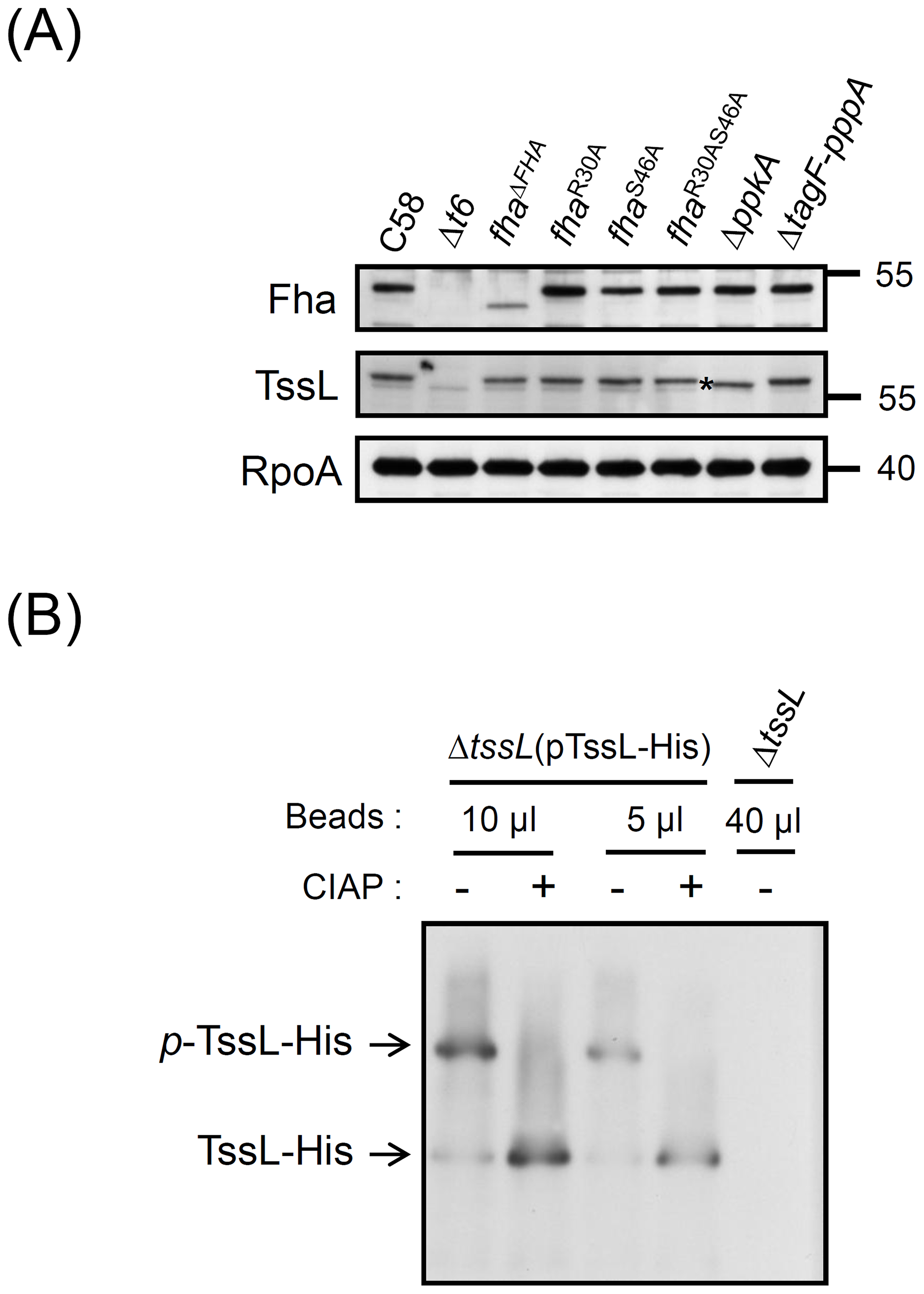 TssL phosphorylation analysis by Phos-tag.