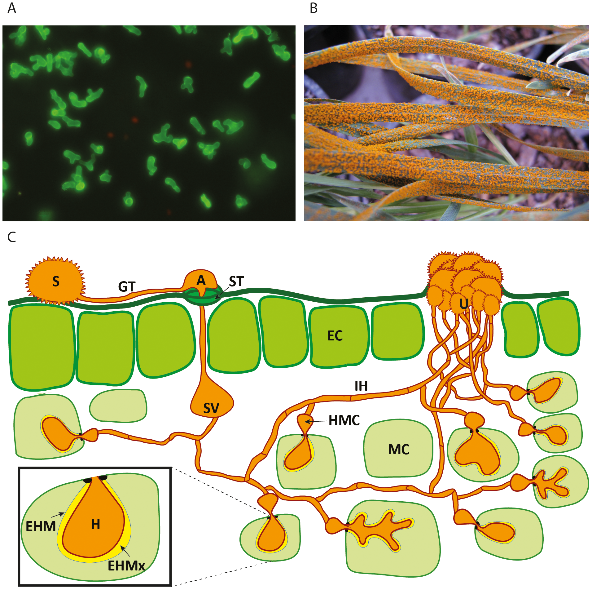Schematic representation of the developmental phases of rust infection on wheat and example of macroscopic symptoms.