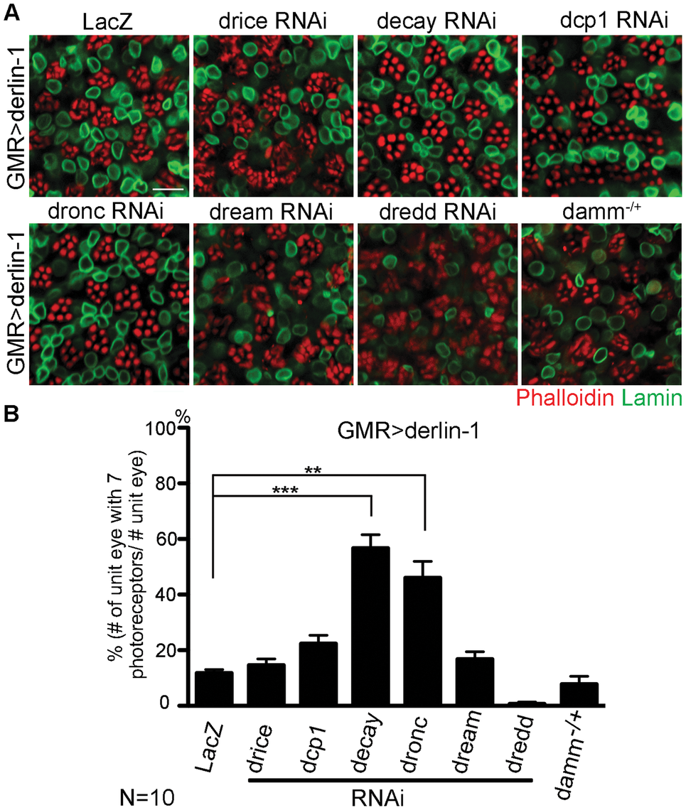 Derin-1 overexpression elicits canonical mitochondrial apoptosis.