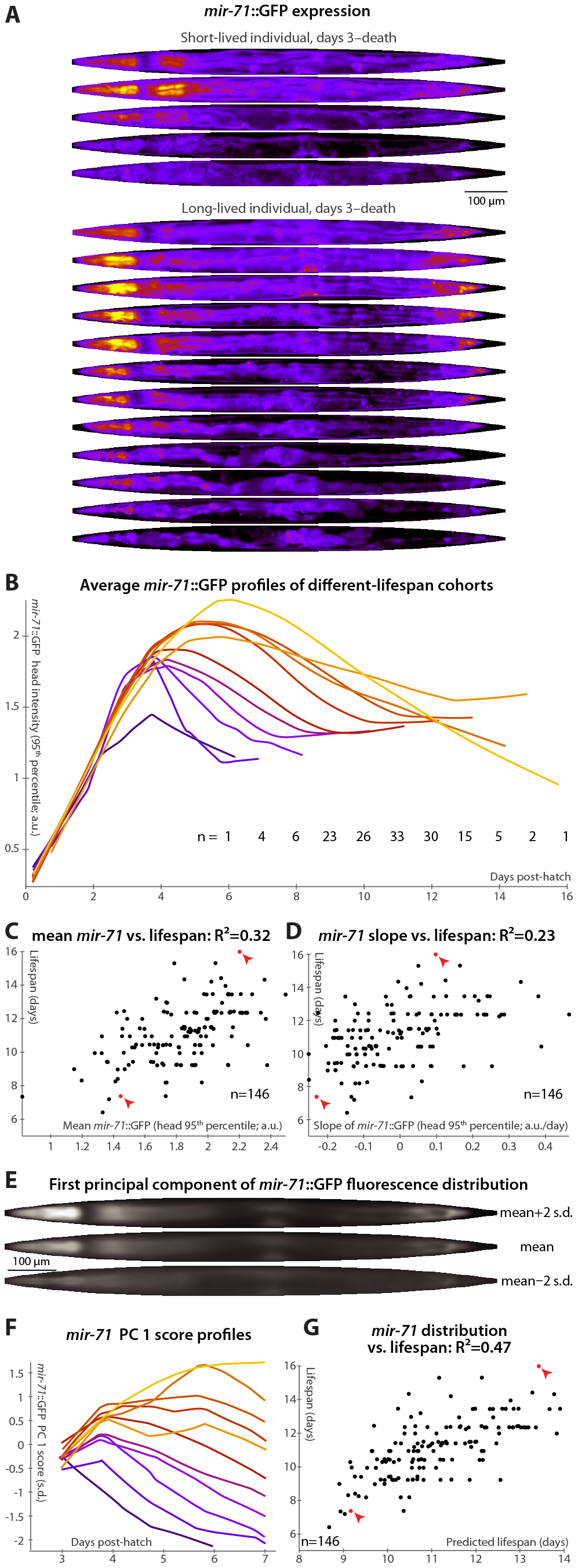 <i>mir-71</i>::GFP levels and expression patterns predict longevity.