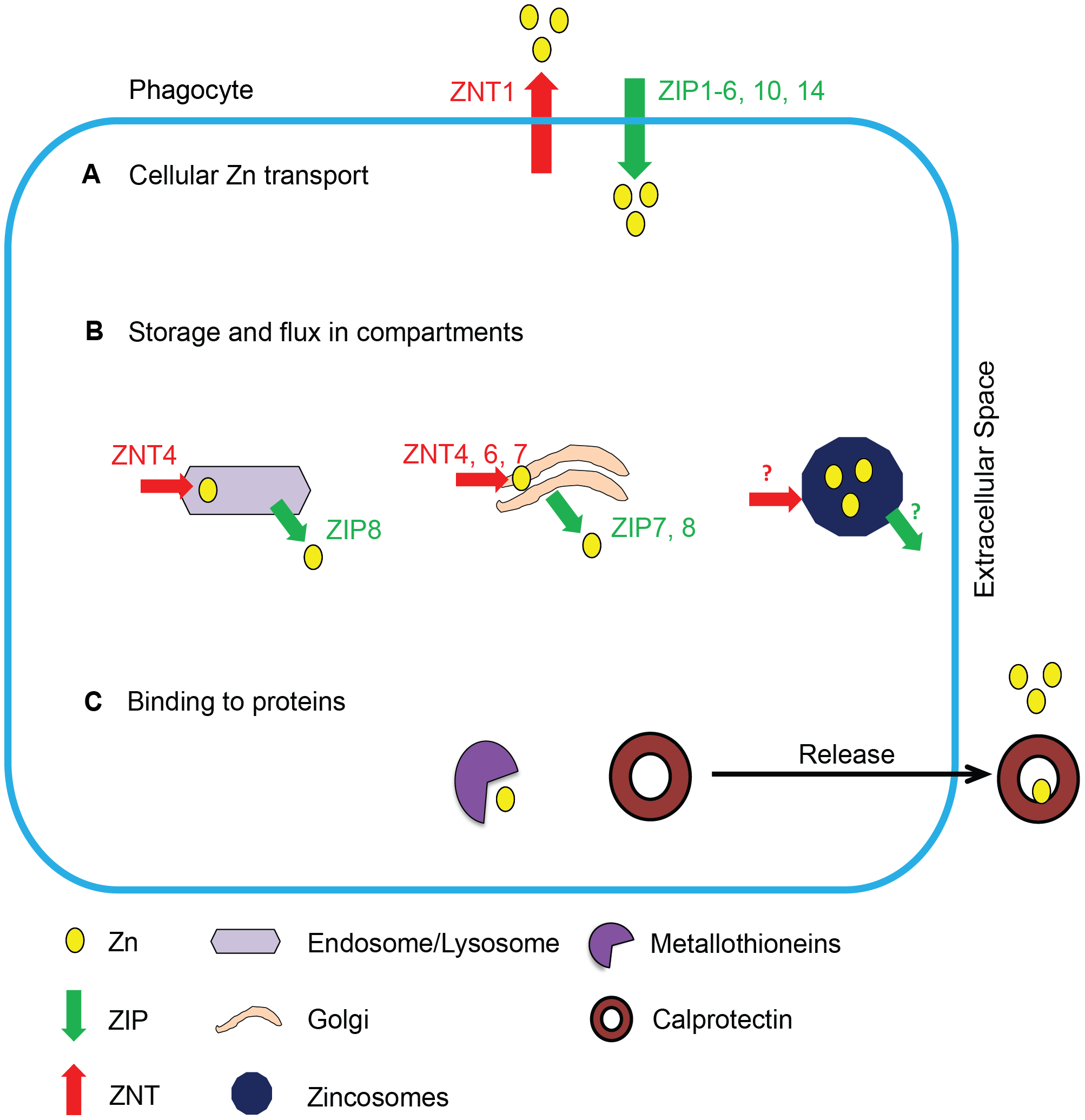 Schematic of Zn regulation in phagocytes.
